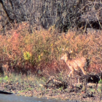 White Tailed Deer walks upstream along the Mohawk River