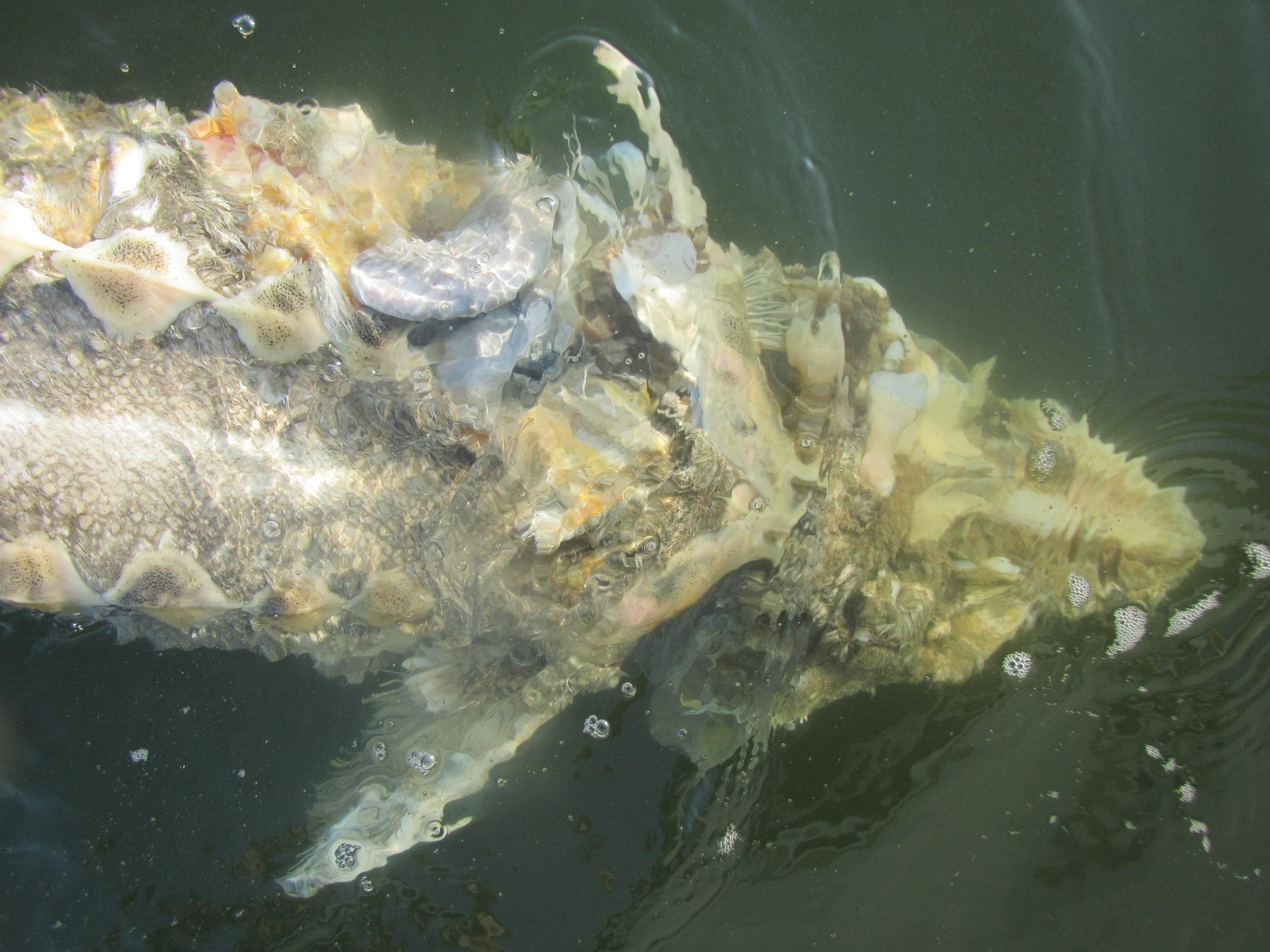 Above: Atlantic Sturgeon (dead)