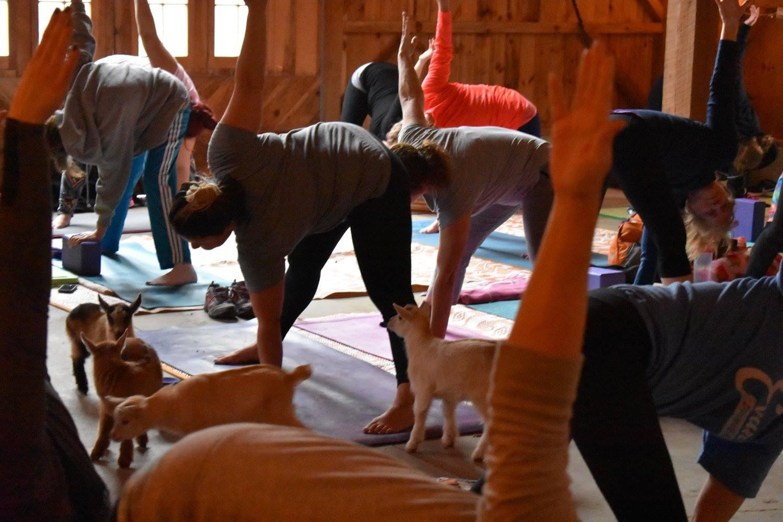 goat yoga 1.jpg