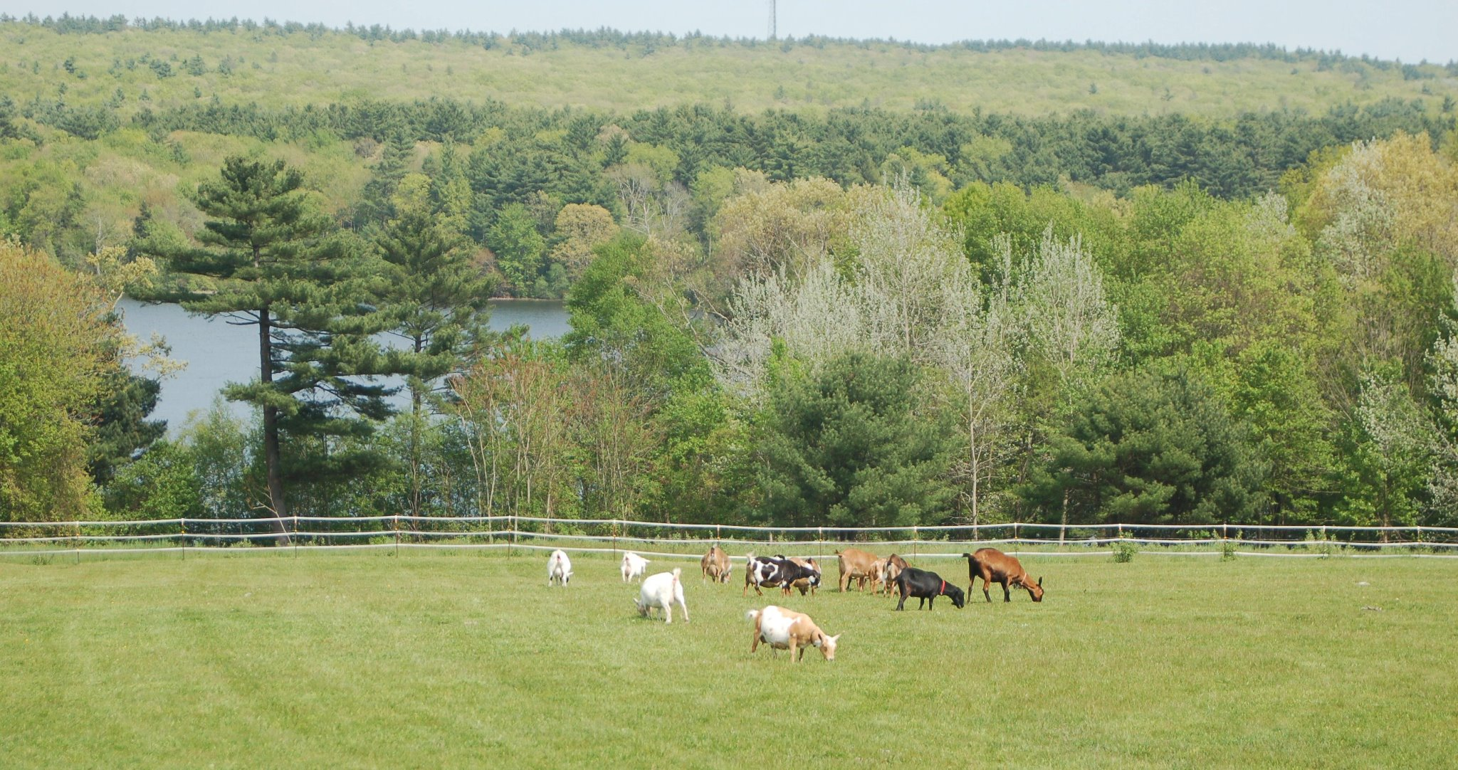 new england goat farm
