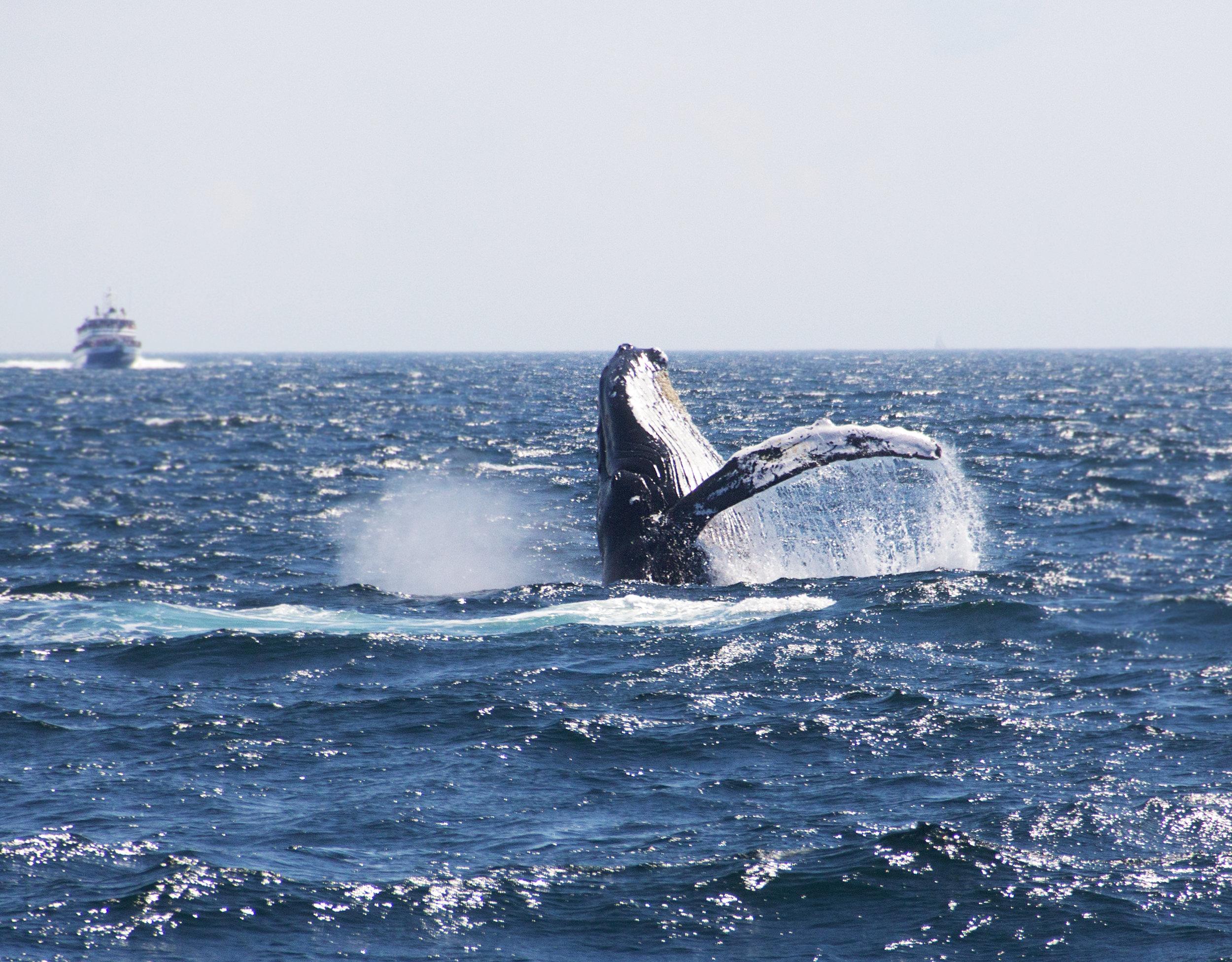 whale_breach.jpg