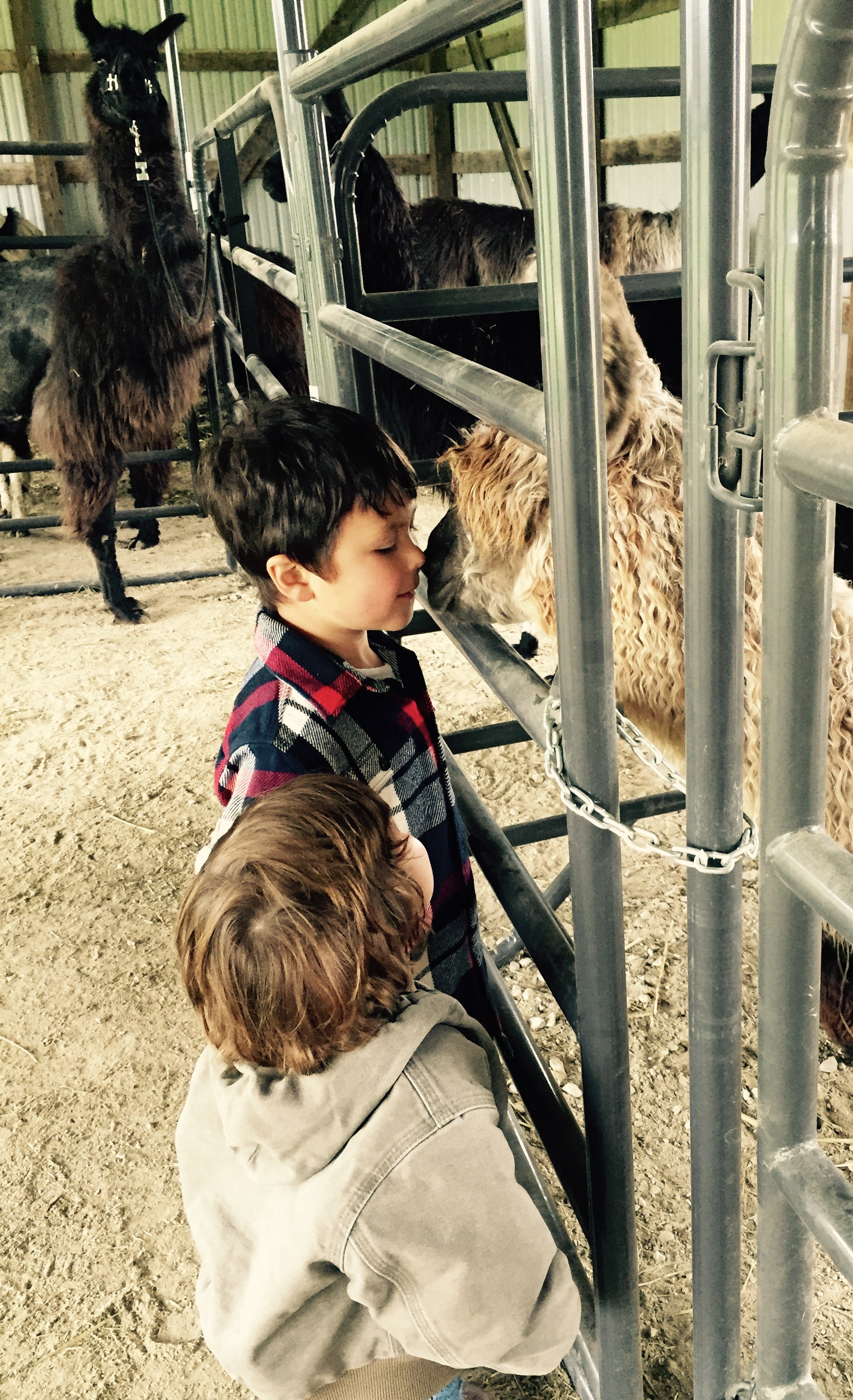 Kids getting kisses from a young curious llama.  Moose is in the back ground keeping watch.