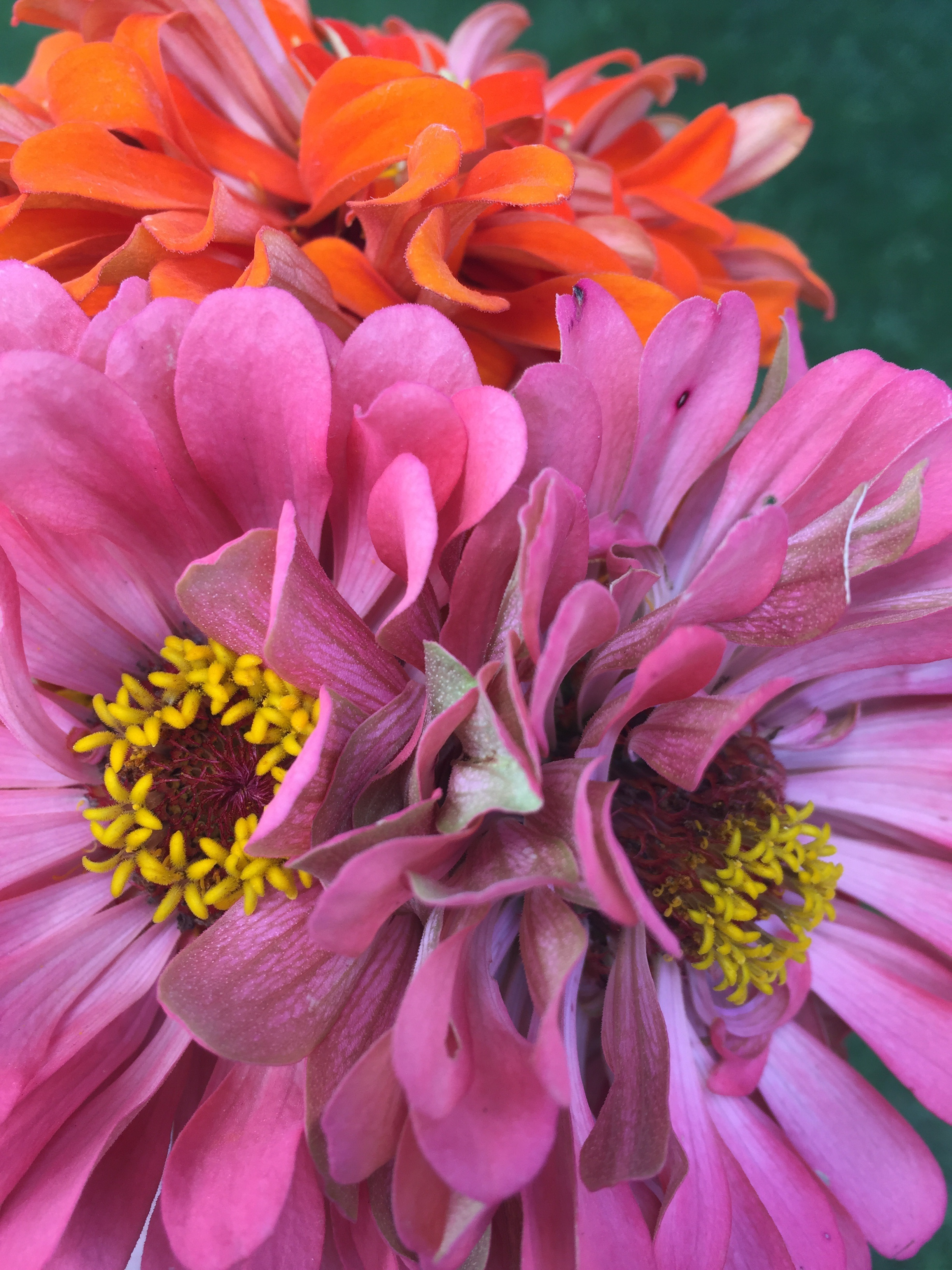 Benary's Giant Zinnia