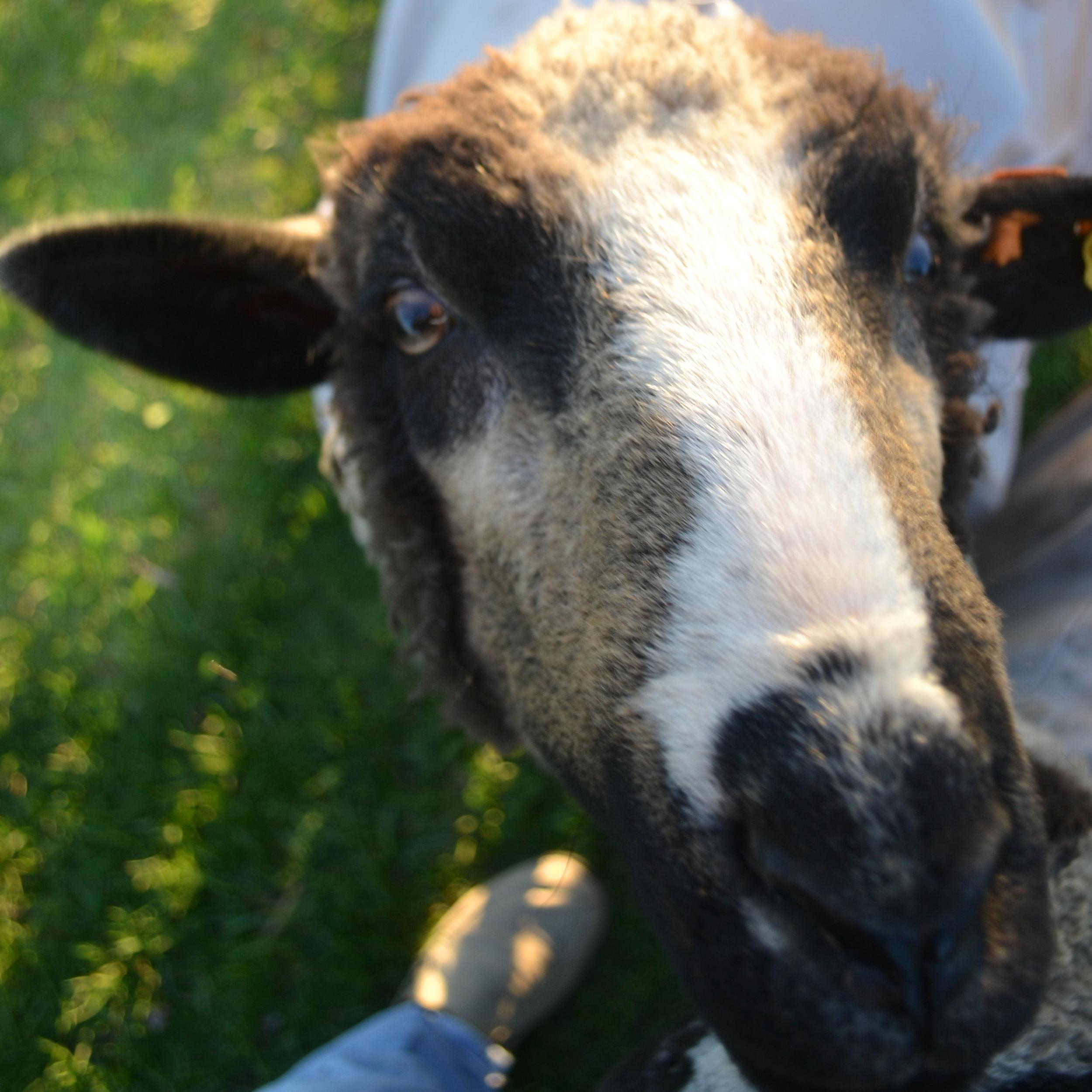 Romeldale & CVM - Natural Color, Fine Soft Wool, Endangered