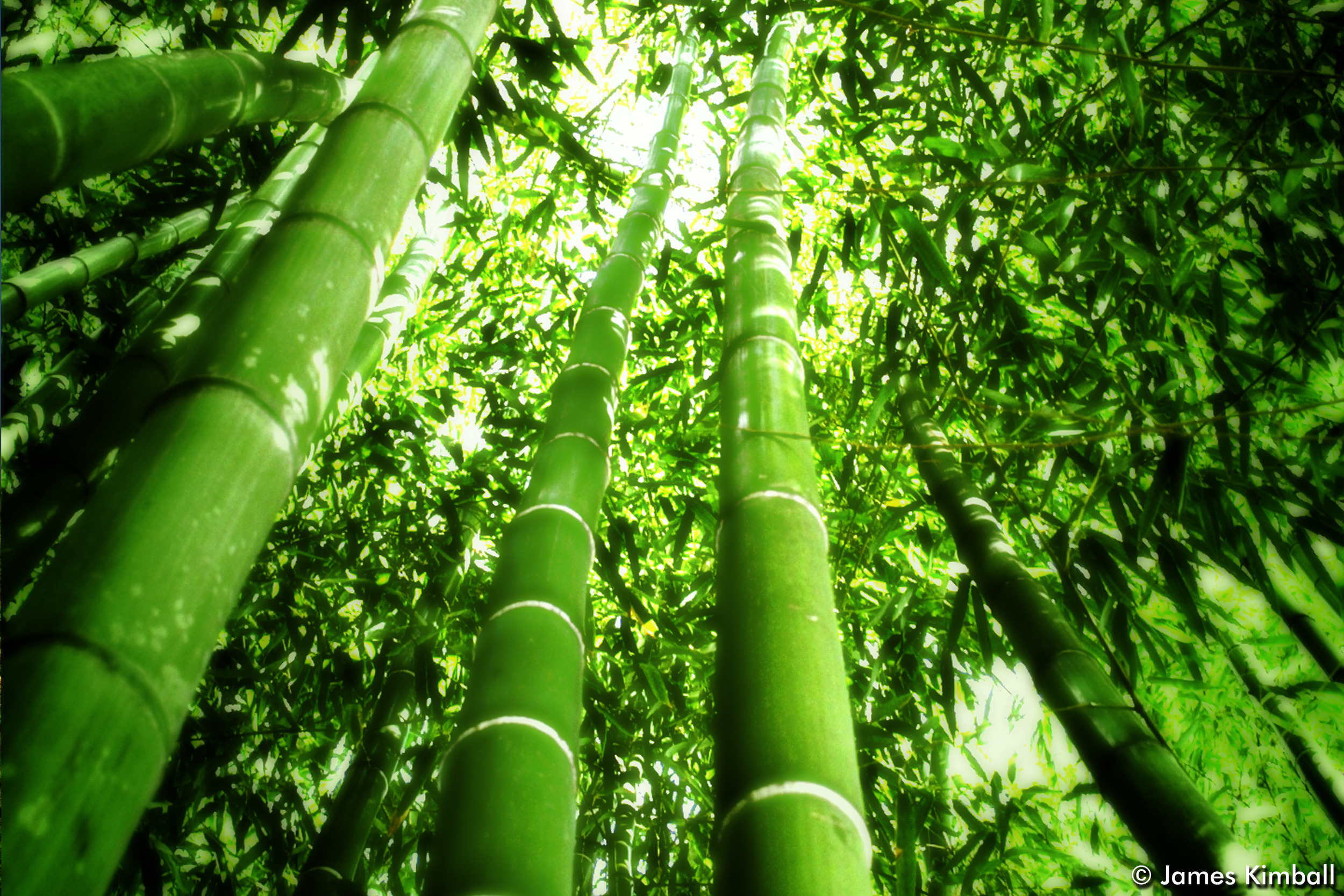Bamboo Thicket.jpg