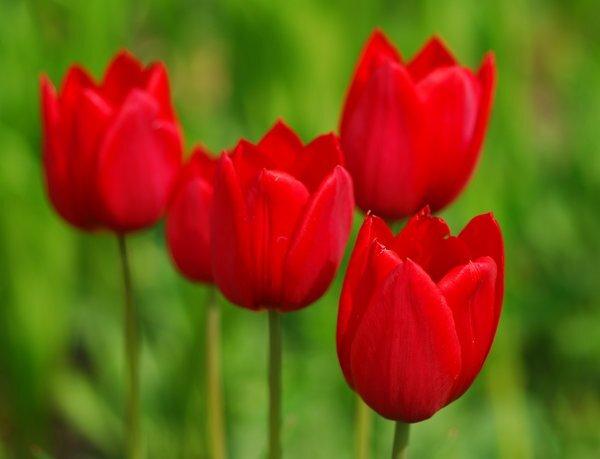 Red tulips are very popular around Nowroz.