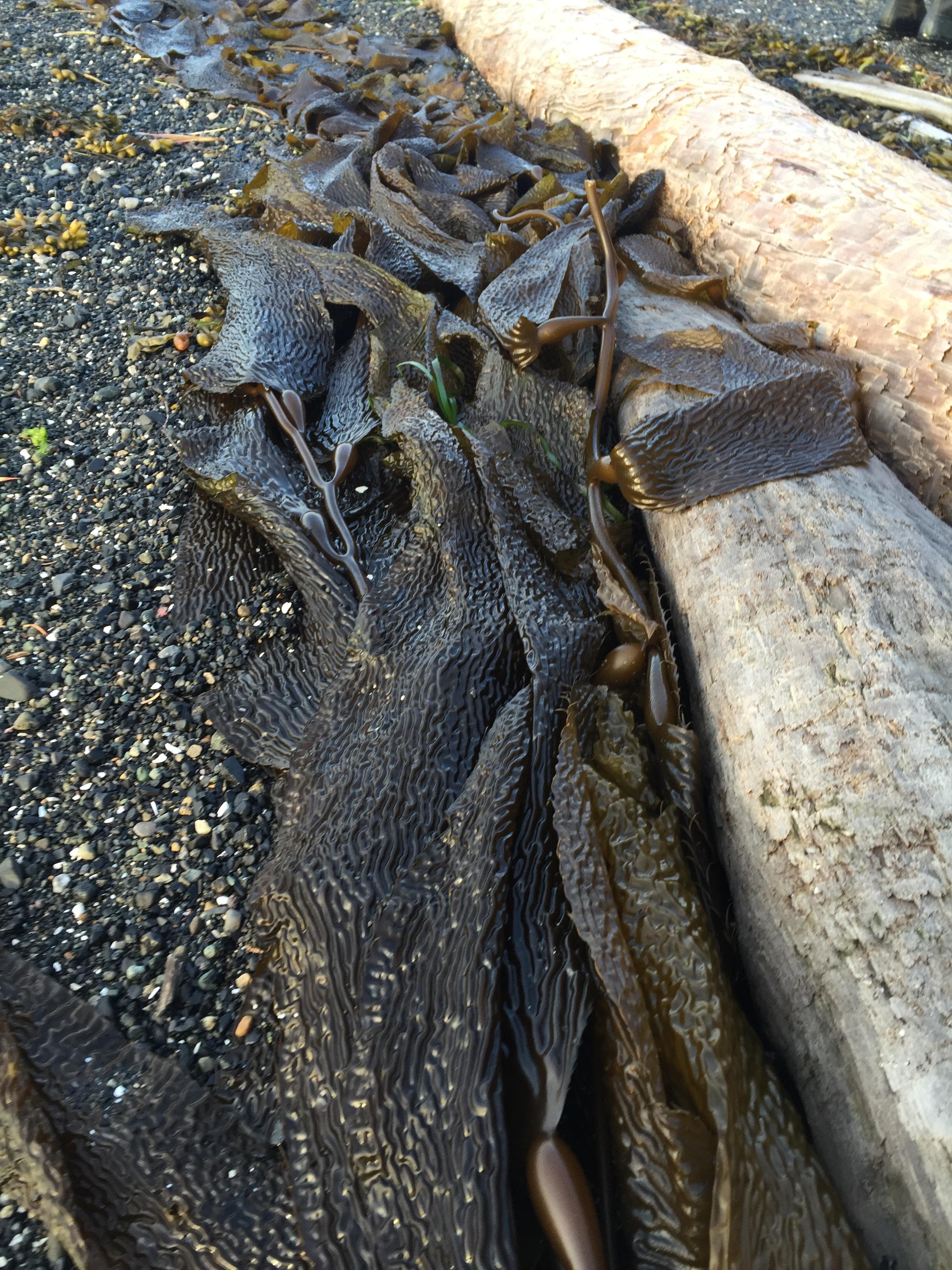 Kelp (The Greyjoys love this shiz)