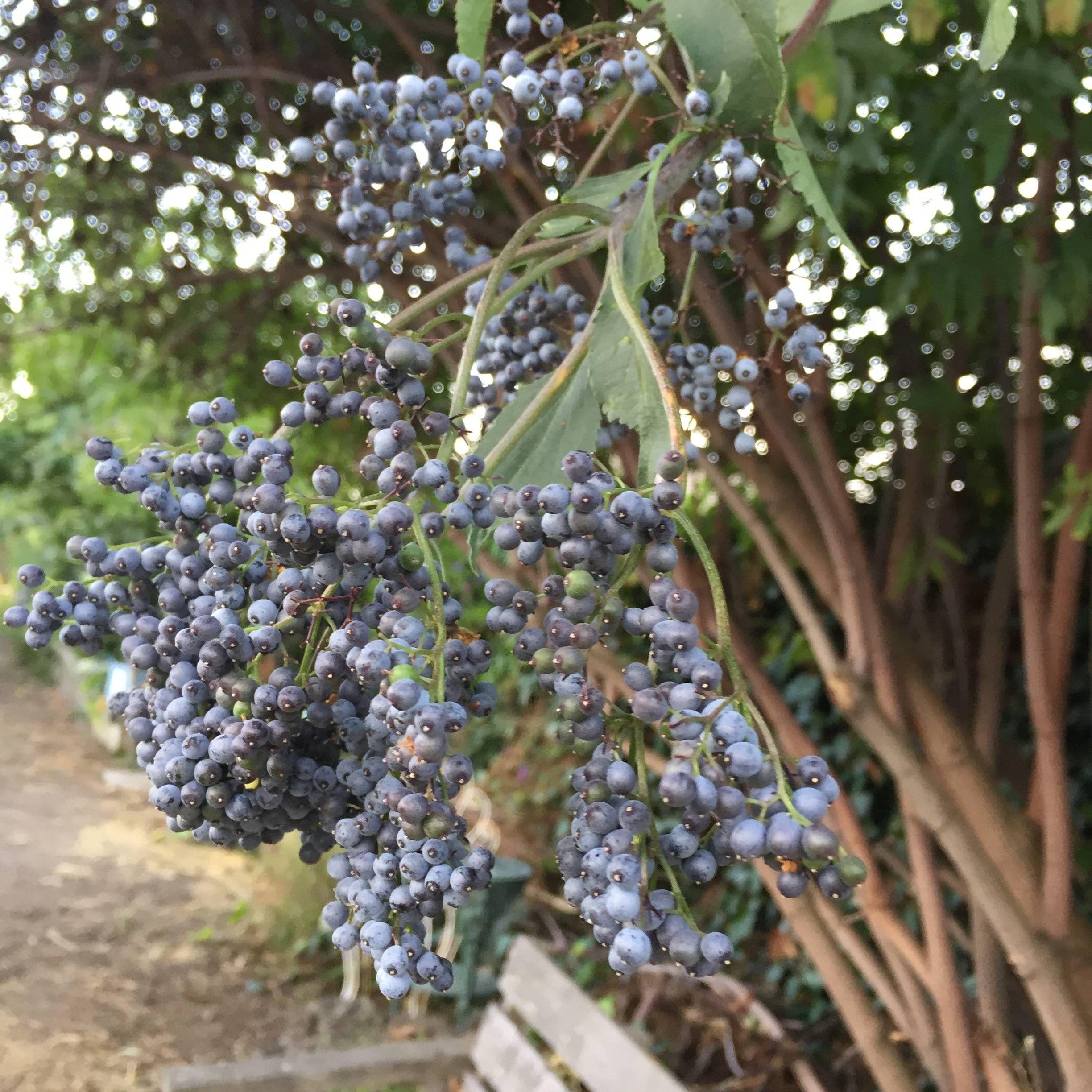Elderberry can be taken as a delicious syrup all season long to fend off colds.