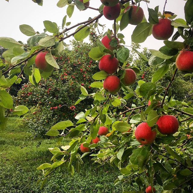 🍎 Apple Season = Cider Season 🍻  Pick some up for your weekend! elacider.com/findus