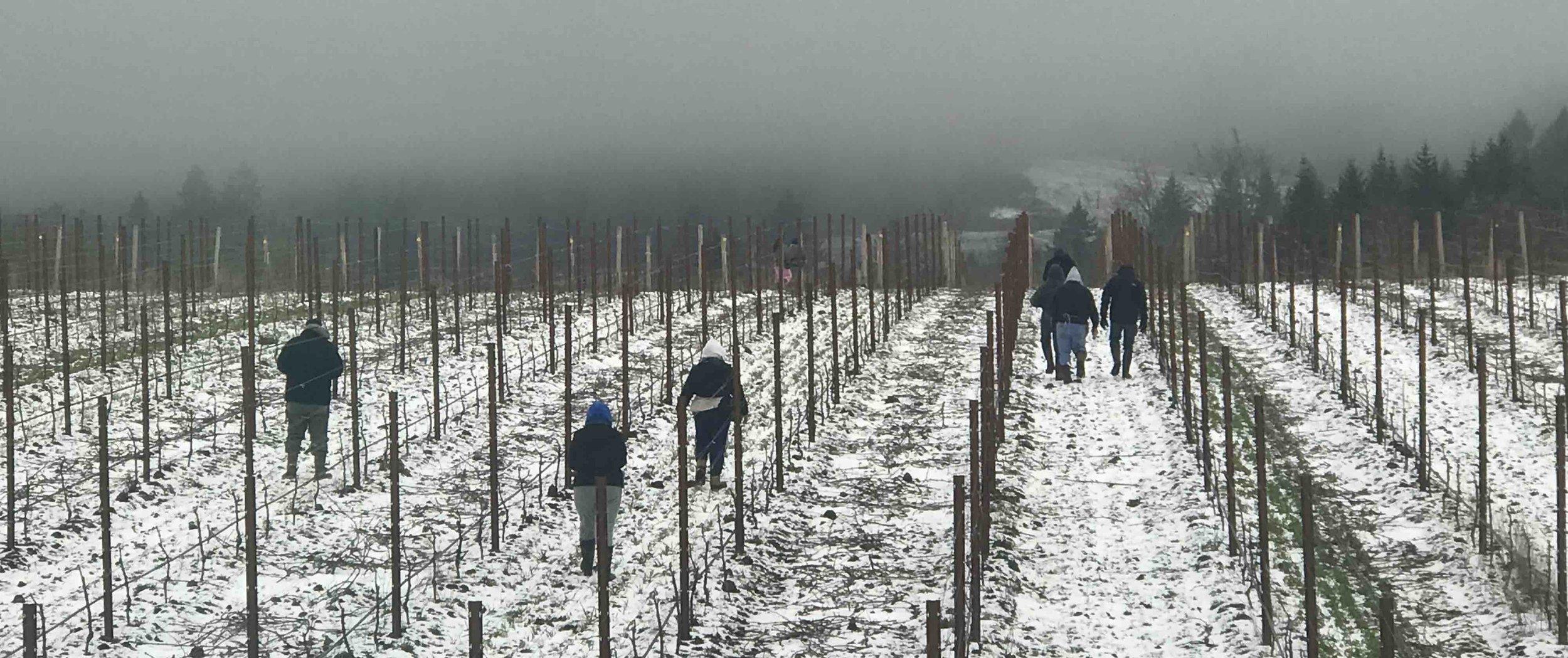 Pruning crew at the Bracken Vineyard