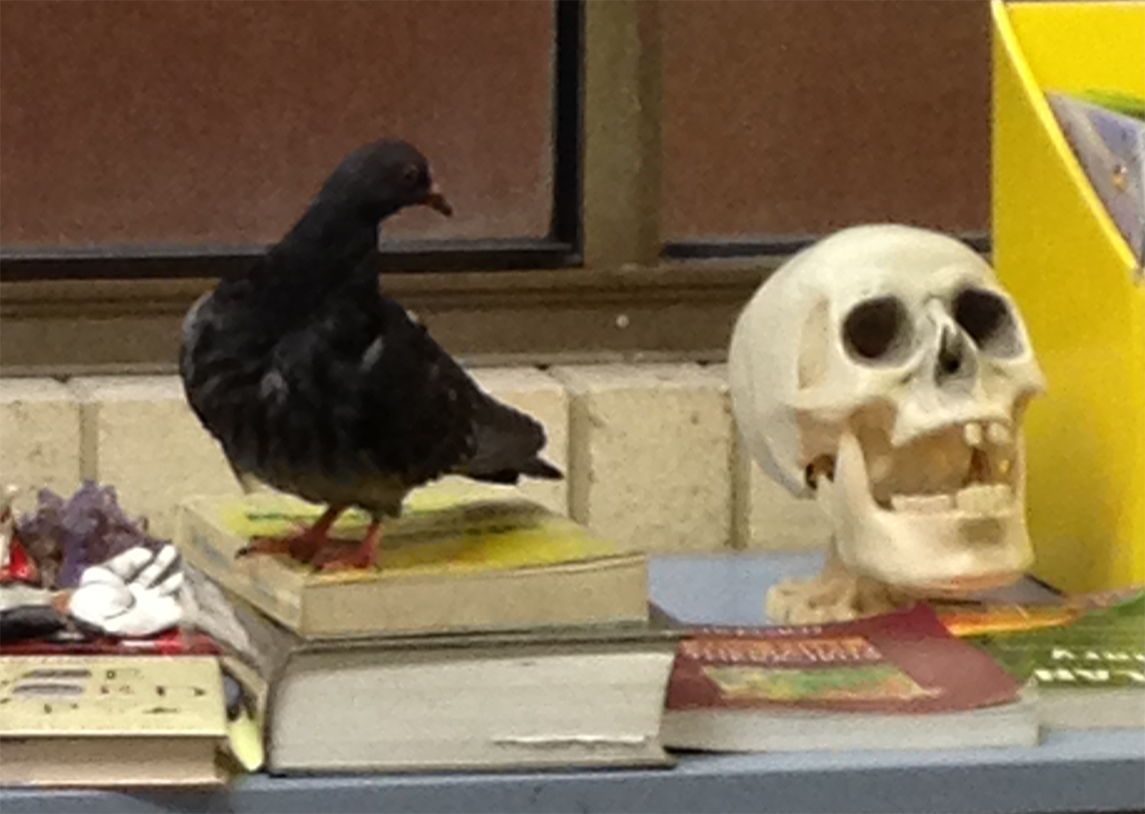 A pigeon chose to visit the school library just before presentations - looking bemused at an unusual library 'resident'!
