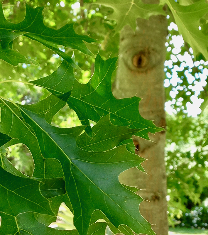 Do trees watch over their leaves YLow.jpg