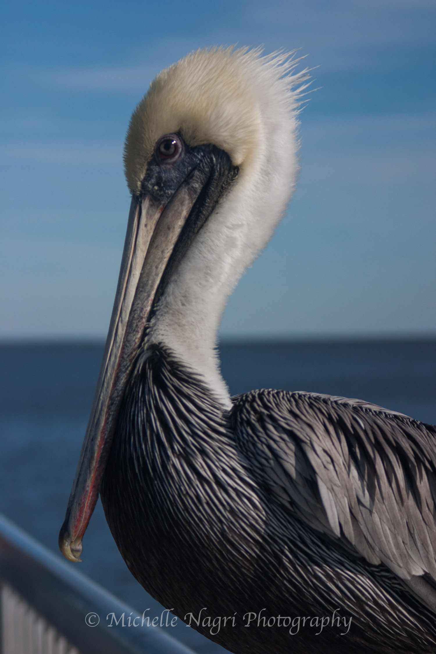 Graceful Pelican