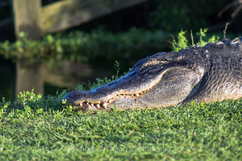 Sunshiny Gator