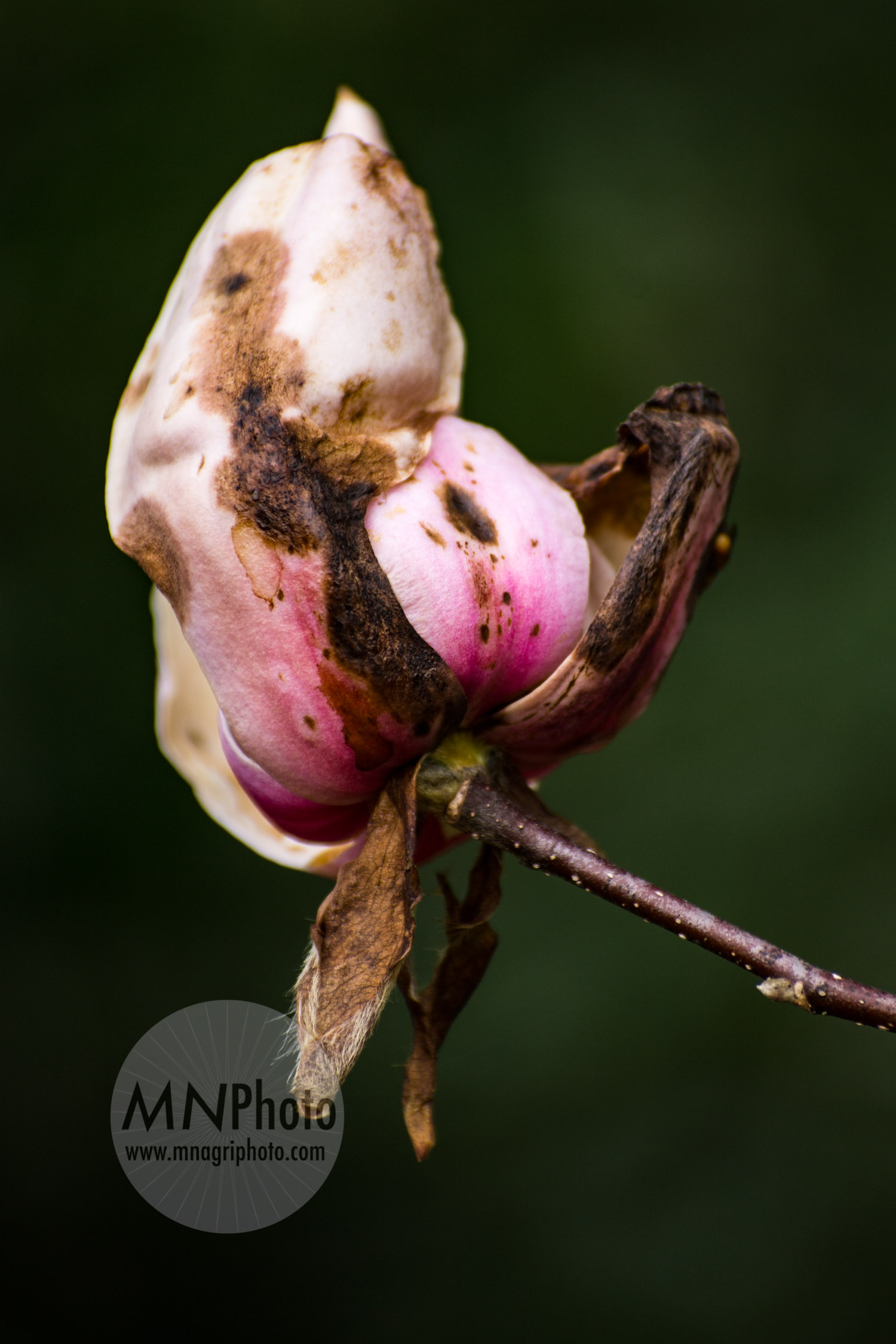 Japanese Magnolia in Decay I, 2015