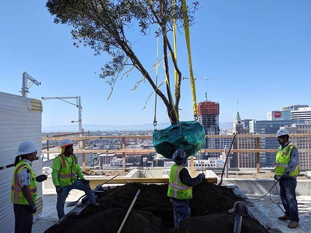 Olive tree arrival day at 1717 Webster.  #rightnow #roofterrace #highrise #oakland #landscapearchitecture #moretocome #petersenstudio