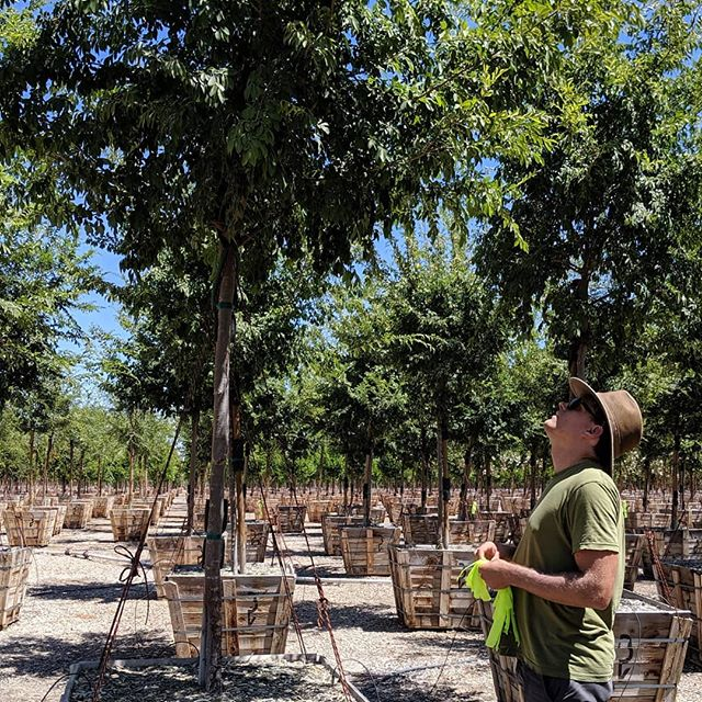 We tagged 200+ trees in one hot day this summer. Here Max is making the right choices.  #ulmusparvifolia #treetagging #treenursery  #landscapearchitecture #summerthrowback #stayhydrated #burlingamepoint