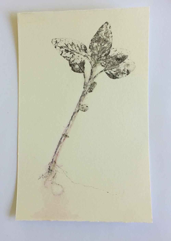 amaranthus5.jpg