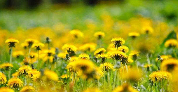 field of dandelion flowers.jpg