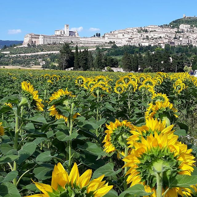 On the summer solstice these huge, beautiful sunflowers opened. Each are taller than a person and they rotate together during the day to face the sun #awe #solstice #sun #life #nature #summer #italy #umbria #beauty #assisi