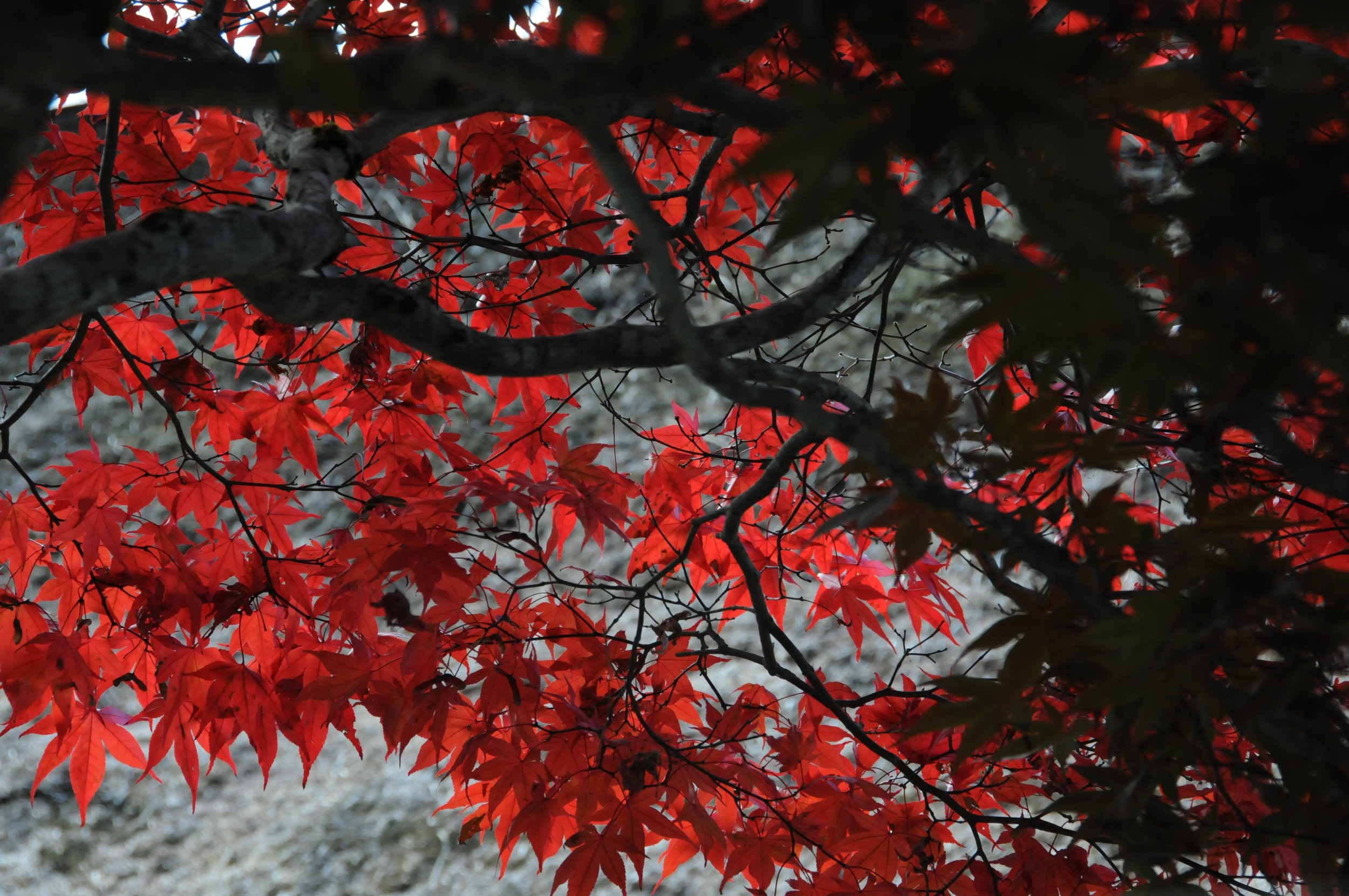 autumn leaves RED.JPG