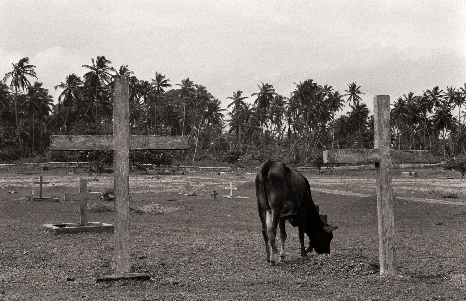"""Grazing"", Sri Lanka, 1992"
