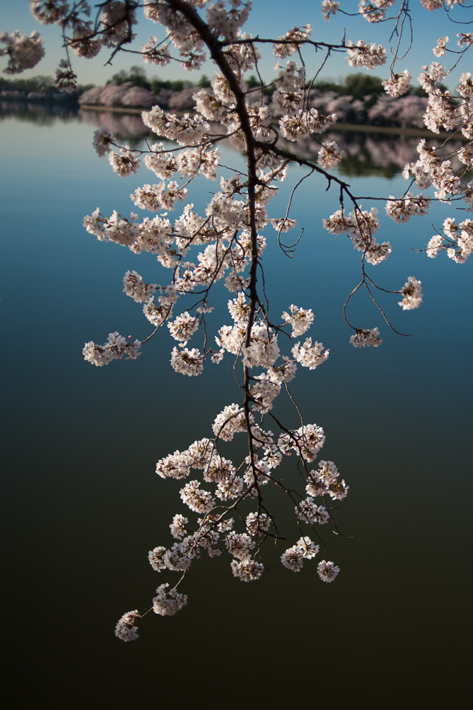 """Cherry Blossom Branch"", Tidal Basin, Washington, DC, 2014"
