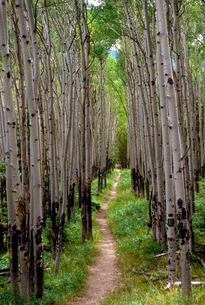Aspens along the Colorado Trail, 2001
