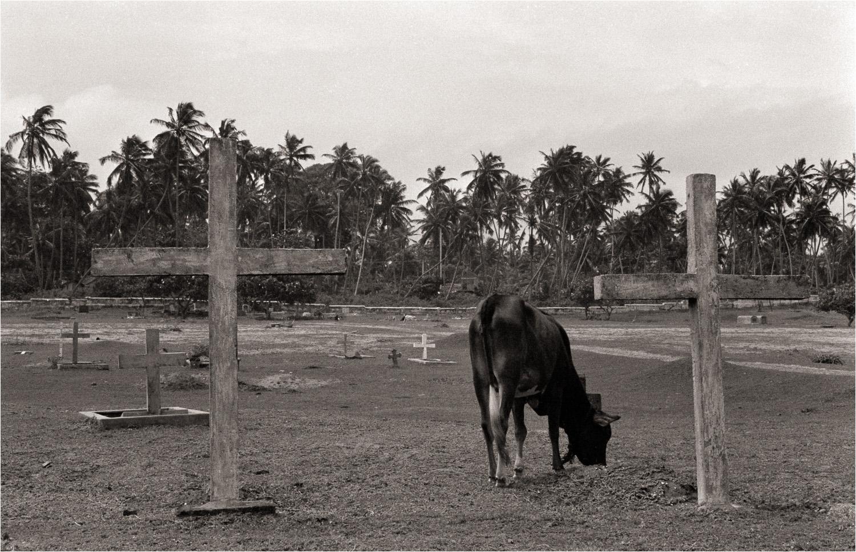 1992_Cow_in_Cemetary.jpg