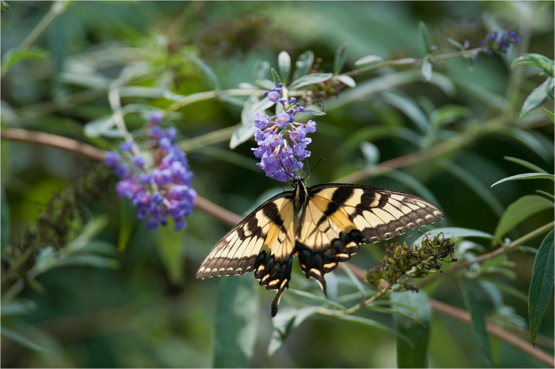 20120901_Butterfly_Henlopen-State-Park-DE.jpg