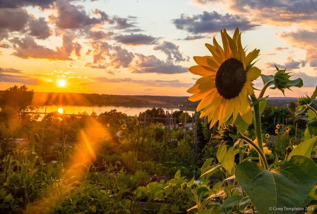 August_2014_Portland_Maine_20140809-DSC_3524 By Corey Templeton North Street Community Garden Sunflower Sunset Small_.jpg
