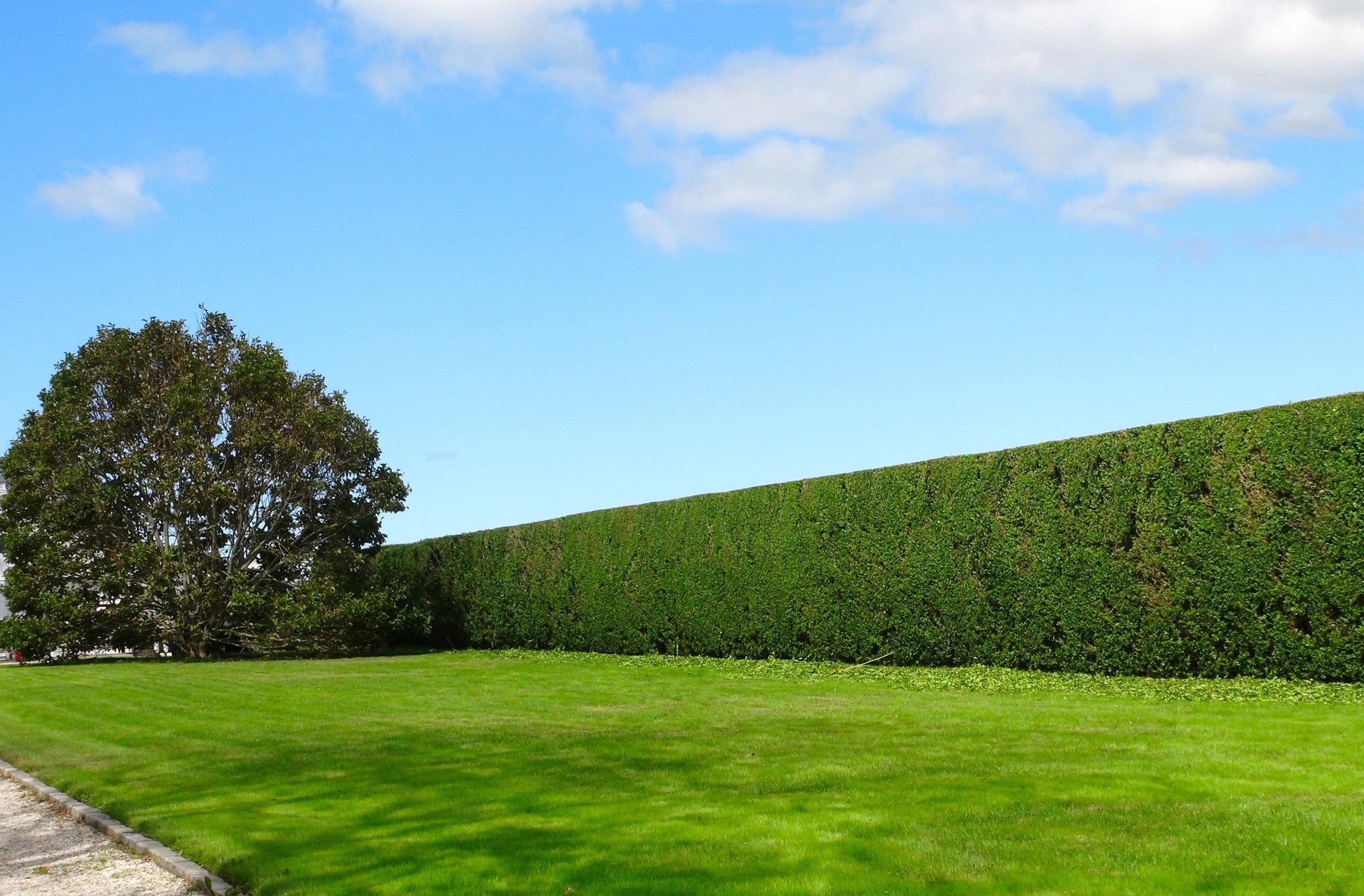 Privet Hedges.jpg
