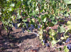 Pinot Noir grapes, August 2015
