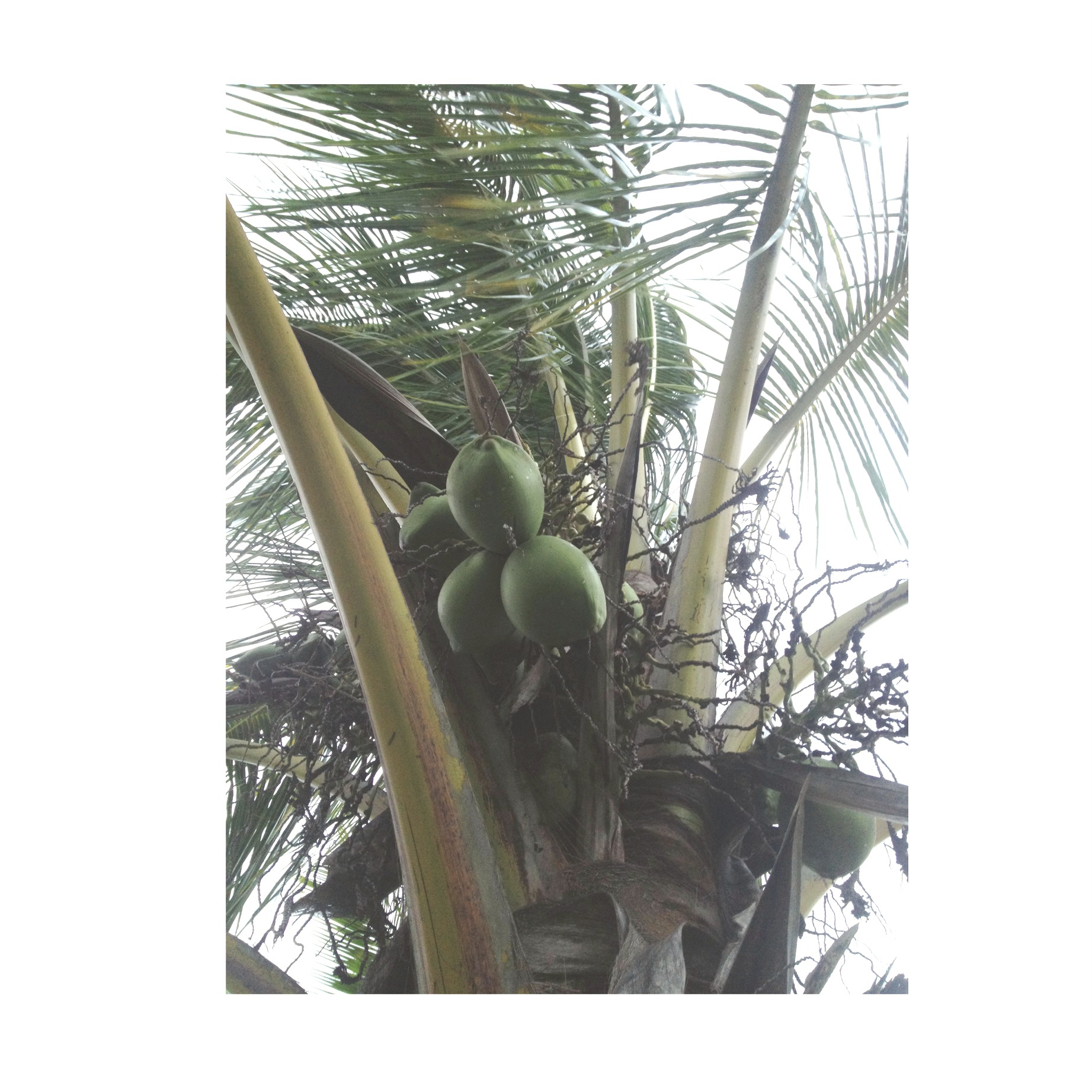 CoCos in my yard, Lucky to live in Hawaii;)