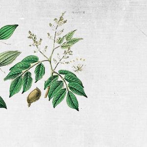 COUNTRY OF ORIGIN: BRAZIL    KEY BENEFITS: firming, tightening, anti-fungal, regenerating, healing, pain relieving.    REGENERATING BALM