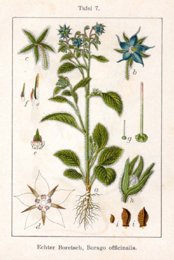 Plant-illustration-of-Borage.jpg
