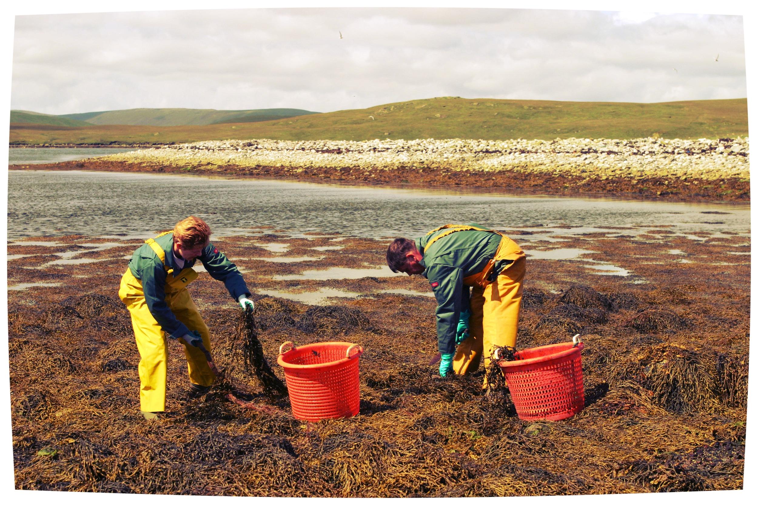 Harvesting-Seaweed_5507.jpg