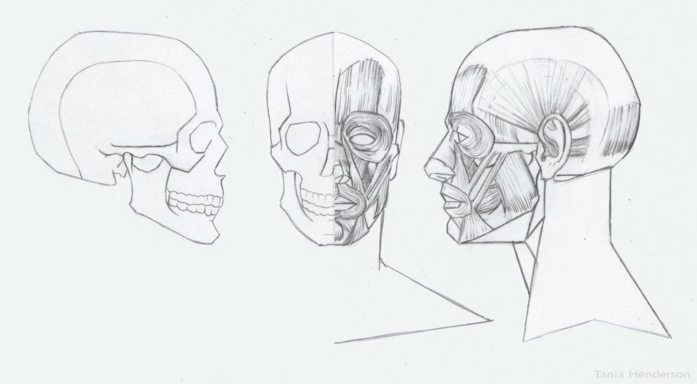 SkullnMuscles.jpg
