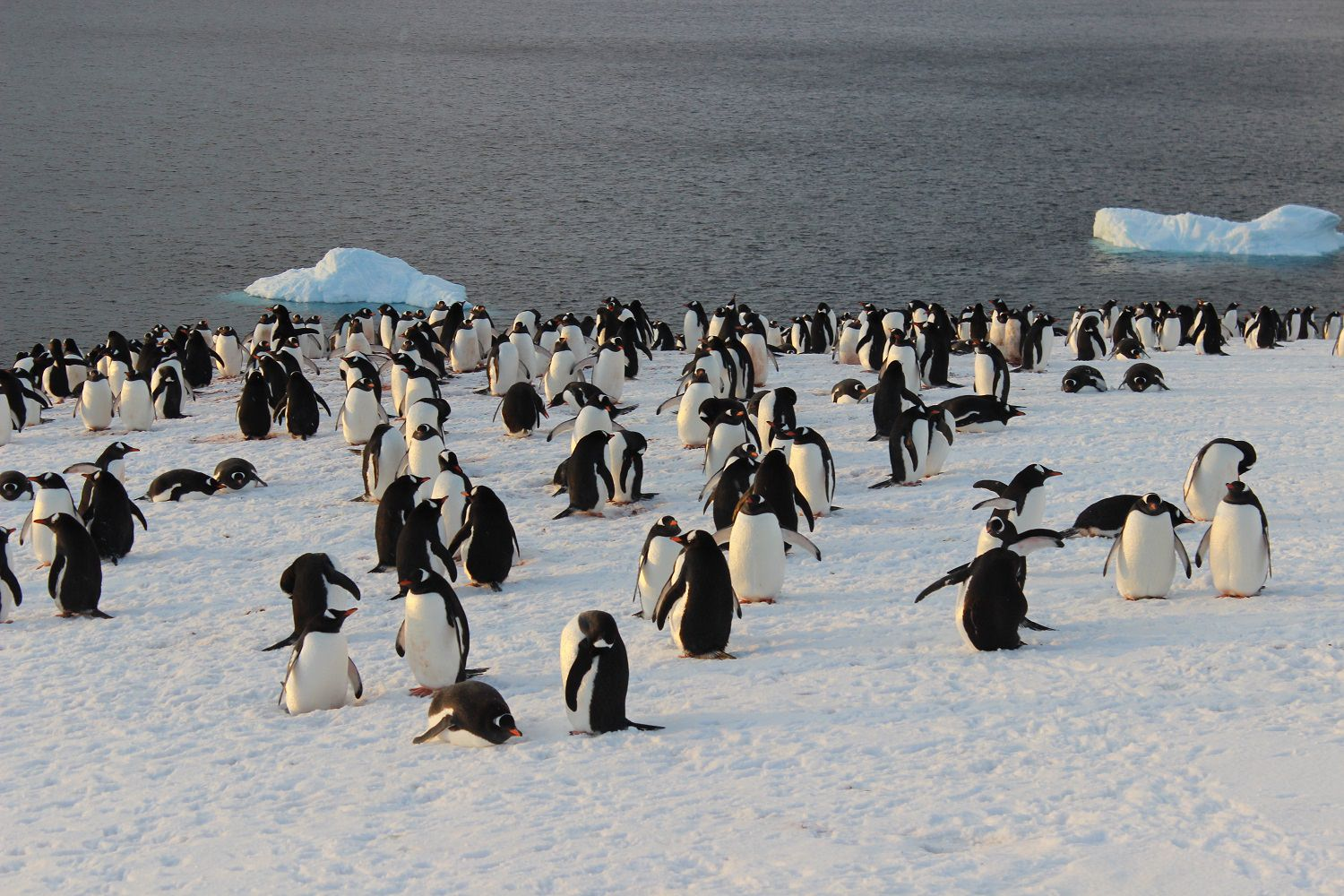 An Evening Penguin Gathering