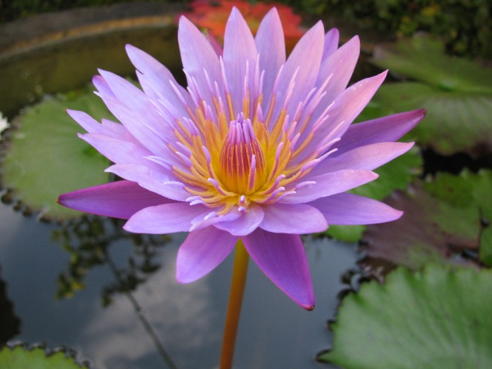 fleur-de-lotus-700-59792.jpg