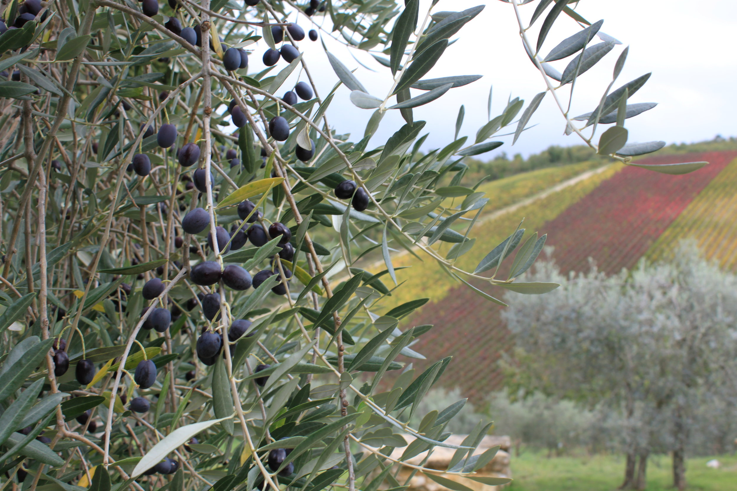 Olives ready to be picked and pressed in Tuscany