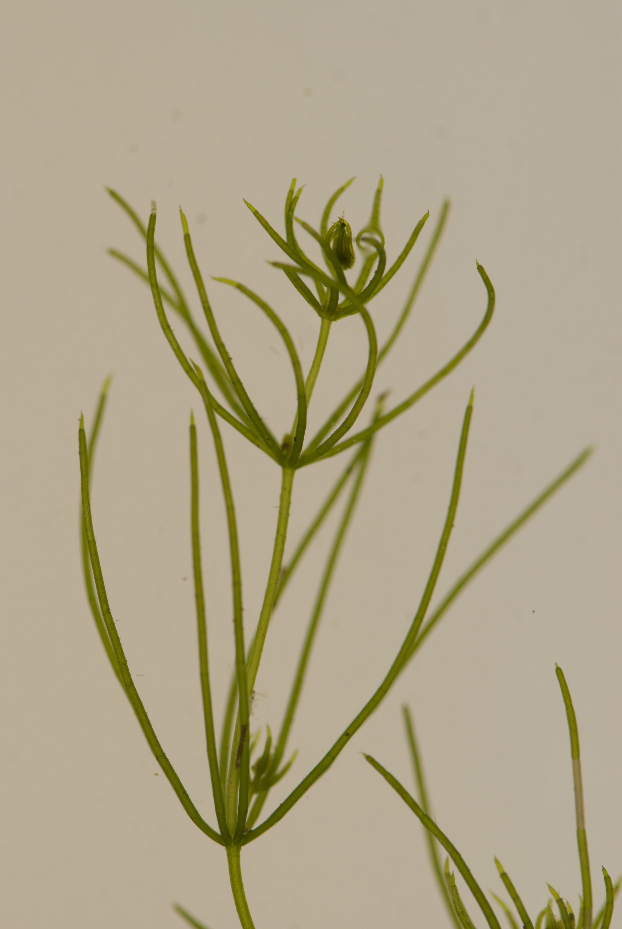 Chara.globularis.000020546.jpeg