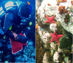 Target species and a SCUBA diver collecting both coralline algae and fleshy macroalgae in Antarctica.