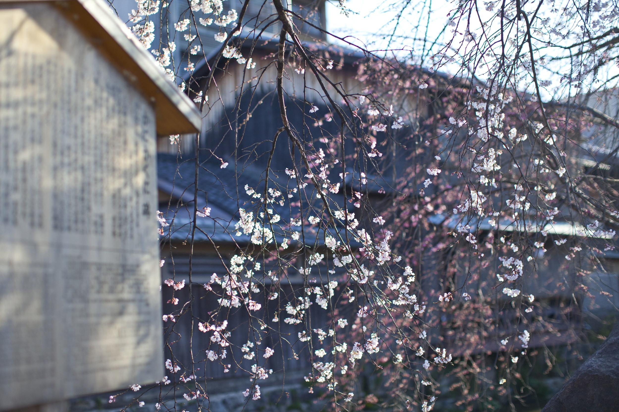 japan cherry-1.jpg