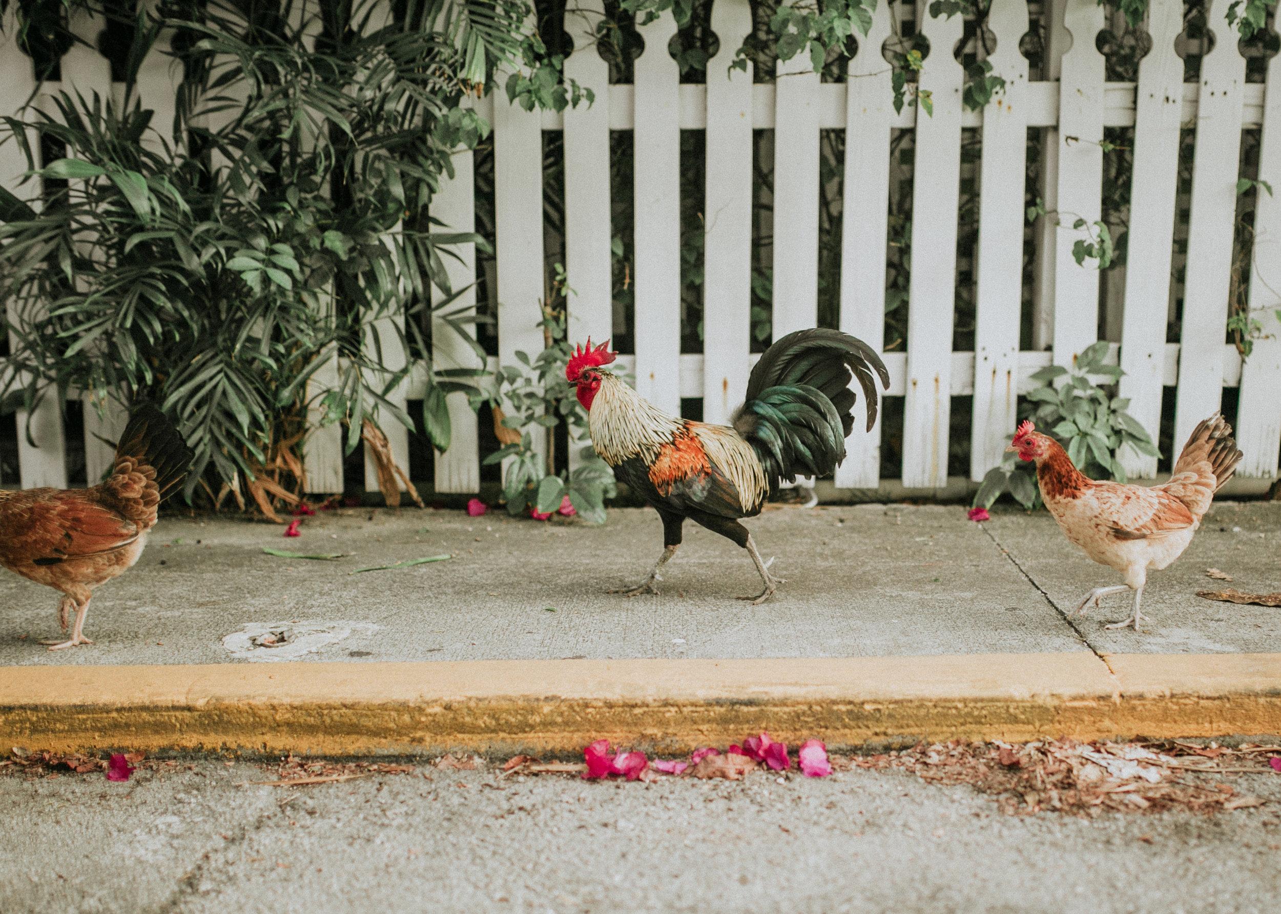 florida, florida photographer, florida keys, tropical, destination wedding, elopement, beach life, island, southern life, key west wedding, engagement, fort zachary, lena perkins, key west, key west photography, key west rooster-20.jpg