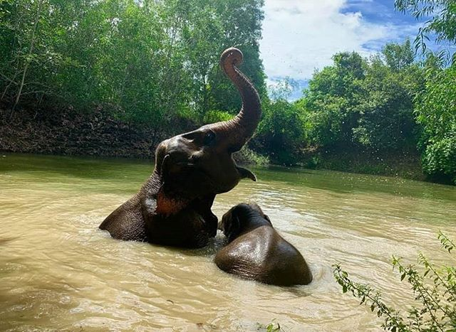 If you've been to Thailand in the summer you know it gets HOT 🥵 Thankfully these two have a river close by to swim in! -  #elepants #elephants #SaveElephantFoundation #animals #summer