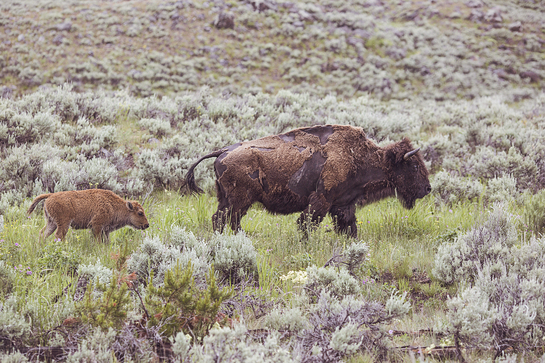 2017-06-13_Yellowstone_Nationalpark_113.jpg