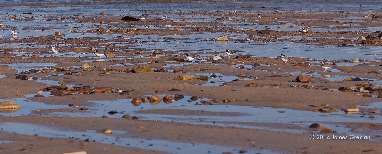 Ringed plover Sandside.jpg