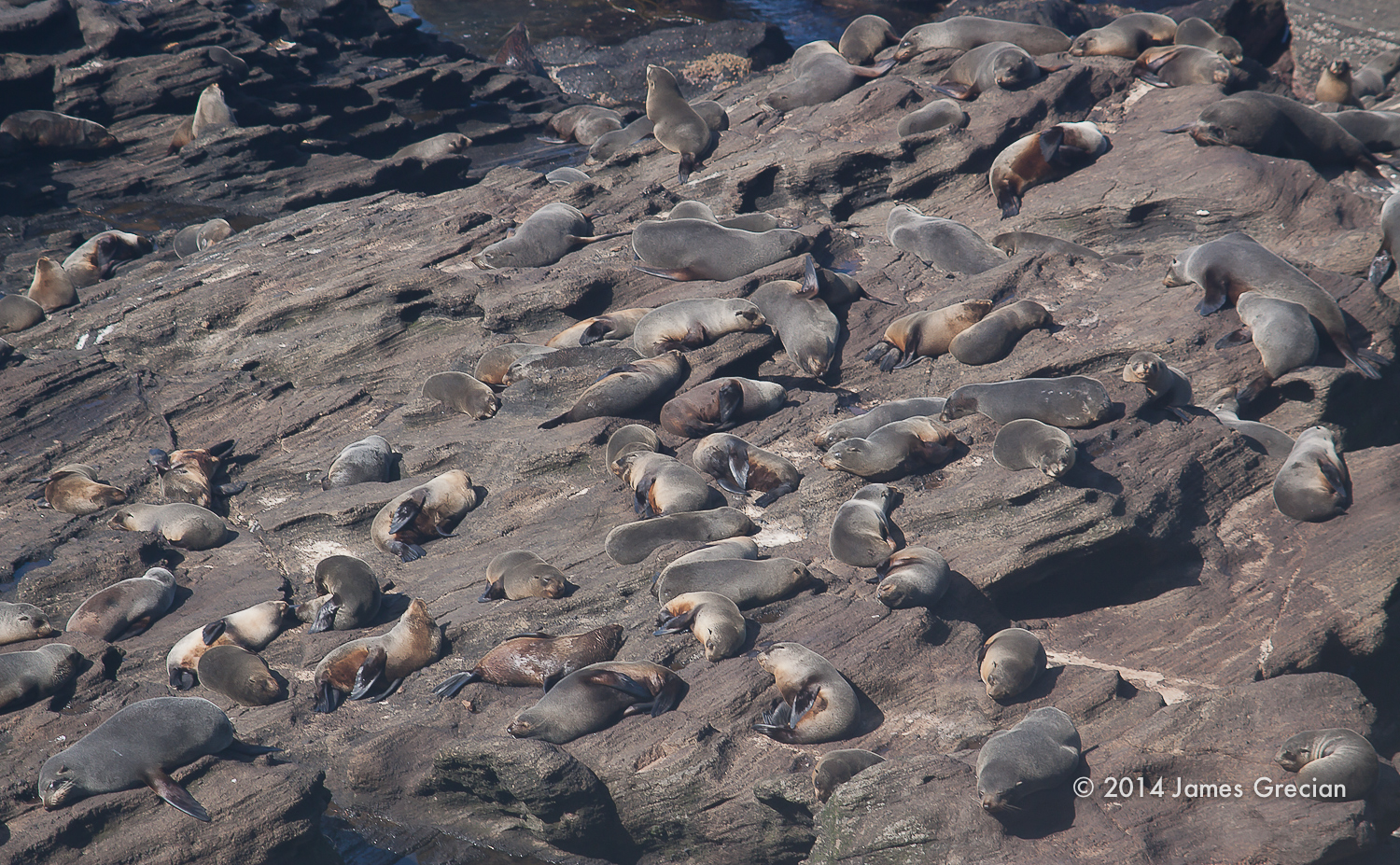 New Zealand fur seals.jpg