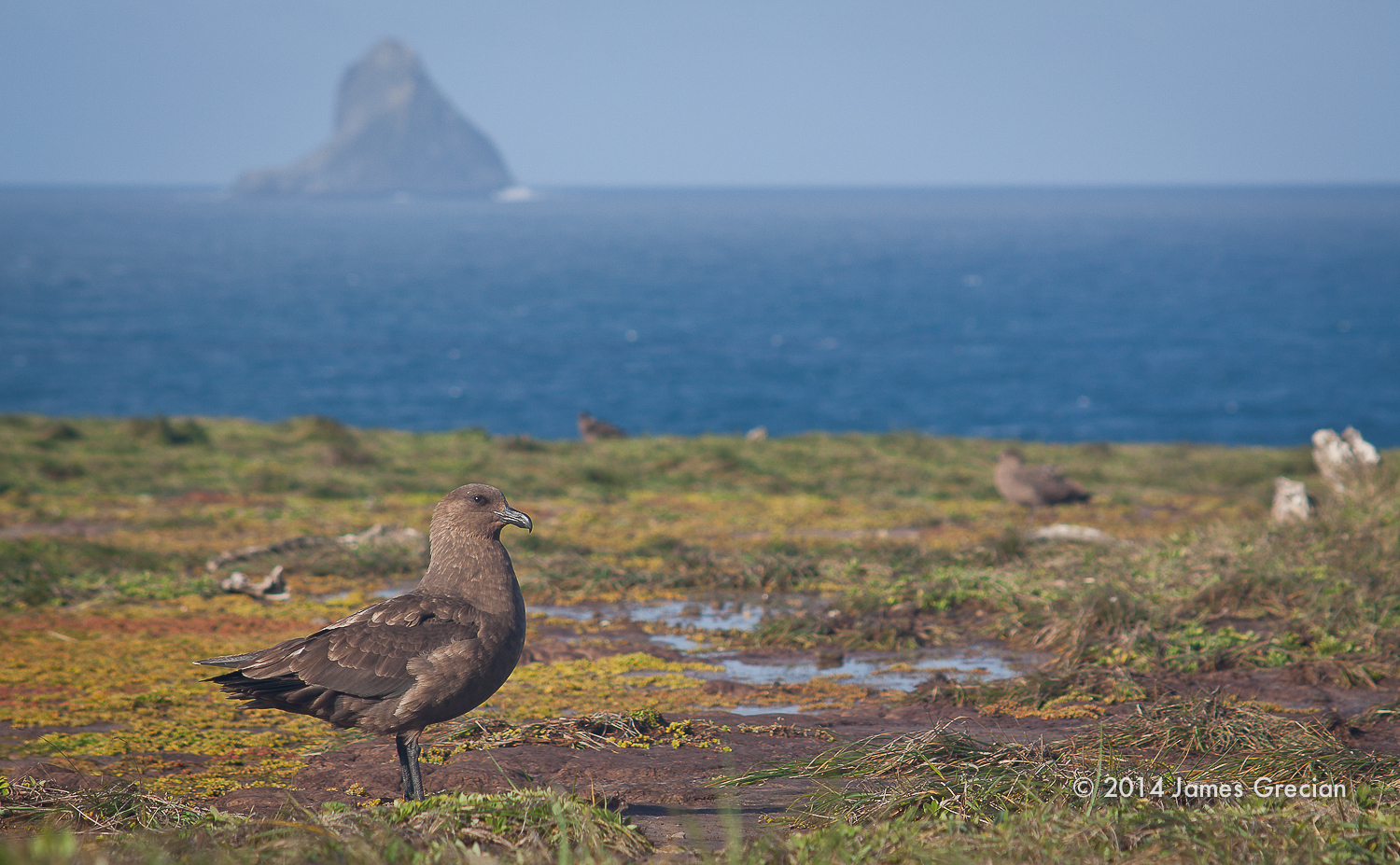 Skua overlooking the pyramid.jpg